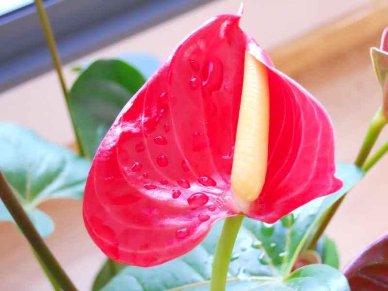Anthurium andraeanum flor 5