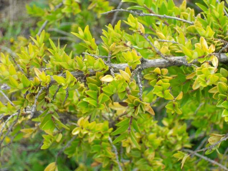 Cotoneaster praecox hoja 4