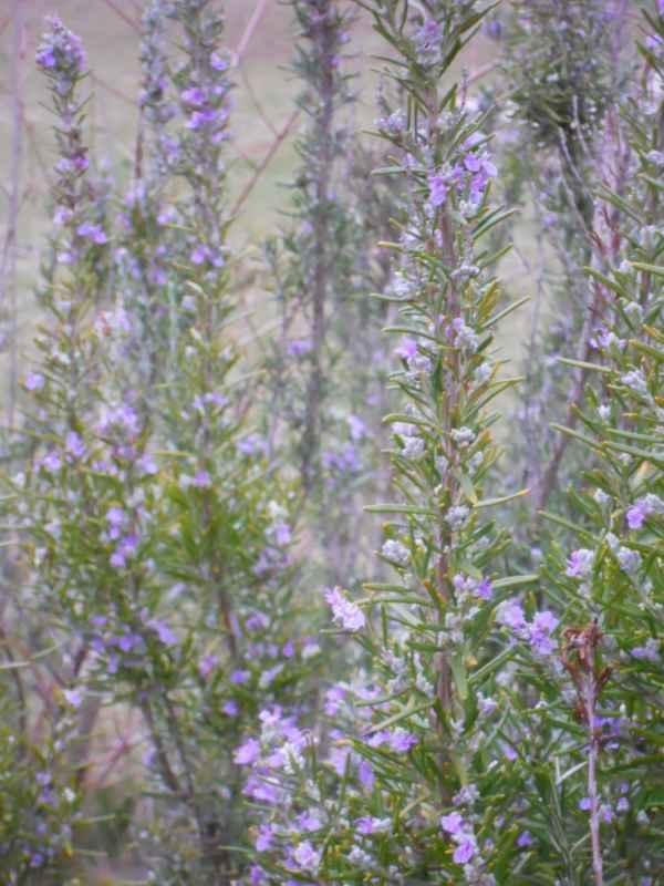 Rosmarinus officinalis 'Corsican Blue' v 1