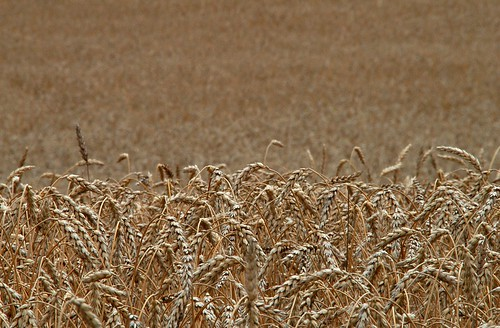 golden wheat grain myfavorites scavengerhunt amberwaves scavengerhunts hardredspring