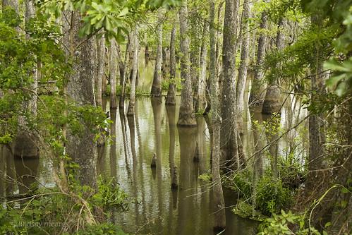 trees reflection water slidell la louisiana swamp cypress swamptour honeyisland