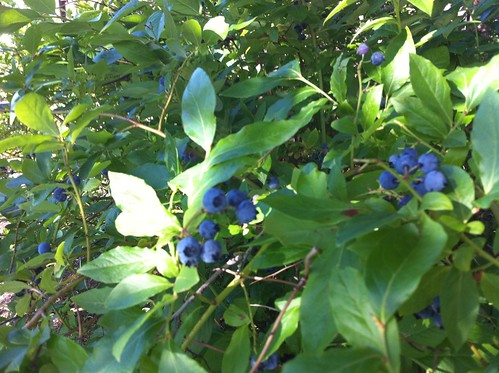 Mmm blueberries. Confirmed though that the birds are raiding it. | by J.P.'s Photos