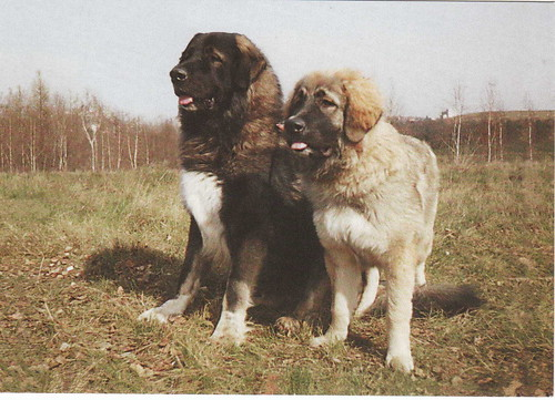 Caucasian Shepherd Dog - Postcard - 6 | by yorkiemama's postcards