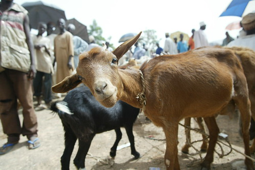 Goat in a market in Nigeria (photo credit: ILRI/Stevie Mann).