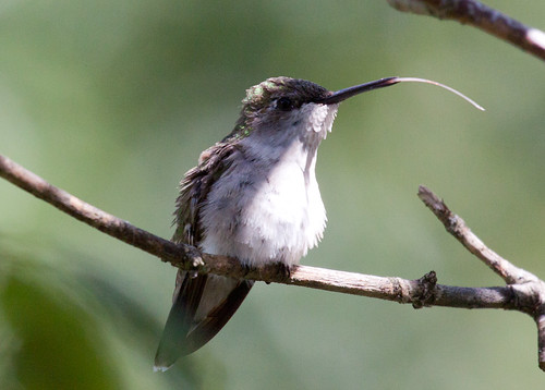 Ruby-throated Hummingbird sticking out her tongue.
