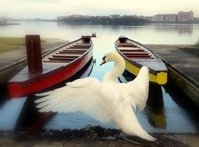 Lake Swan Or Swan Lake Perhaps