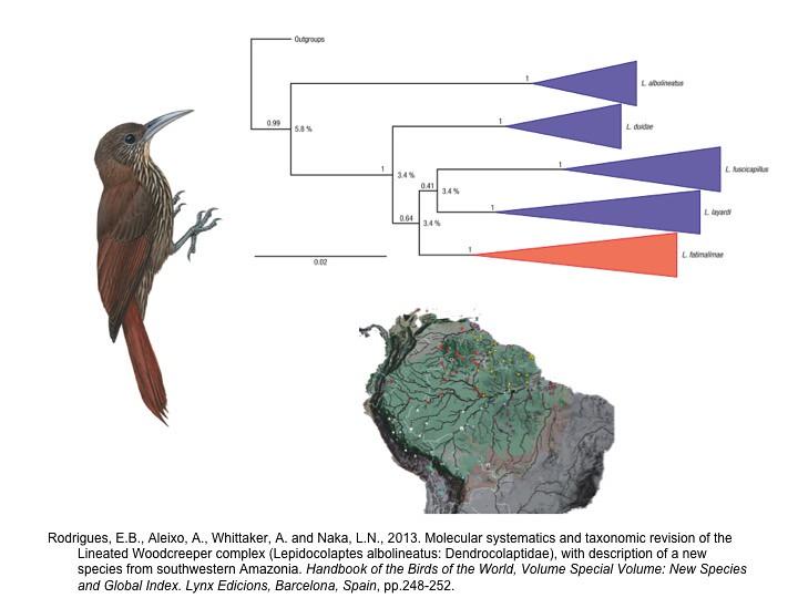 Rodrigues et al. 2013.  Lepidocolaptes woodcreeper phylogeny