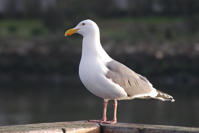 American Herring Gull AHM 4-1-10 2