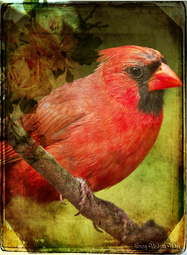 Mr. Cardinal in texture