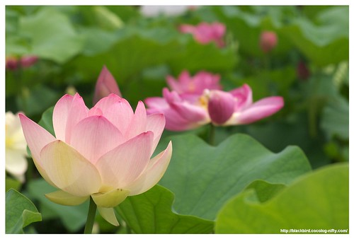 Lotus 100706 #09 | by osanpo