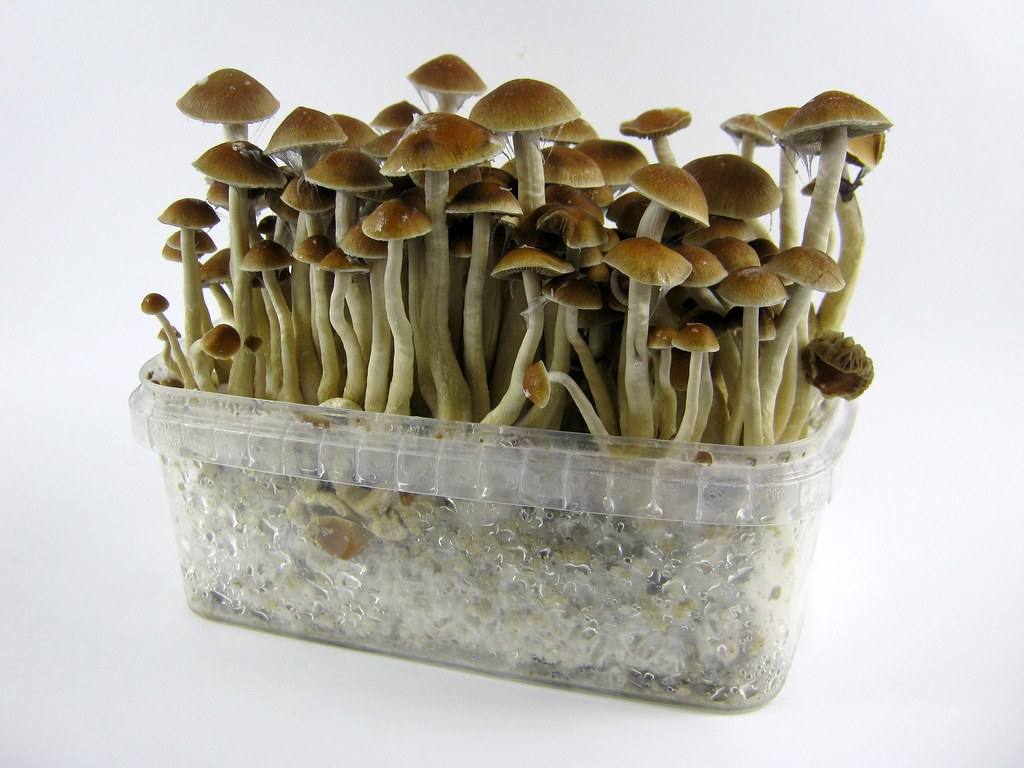 Mckennaii mushroom grow kit