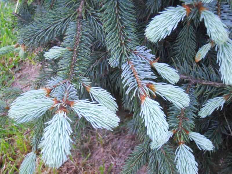 Abies procera 'Glauca' hojas 3
