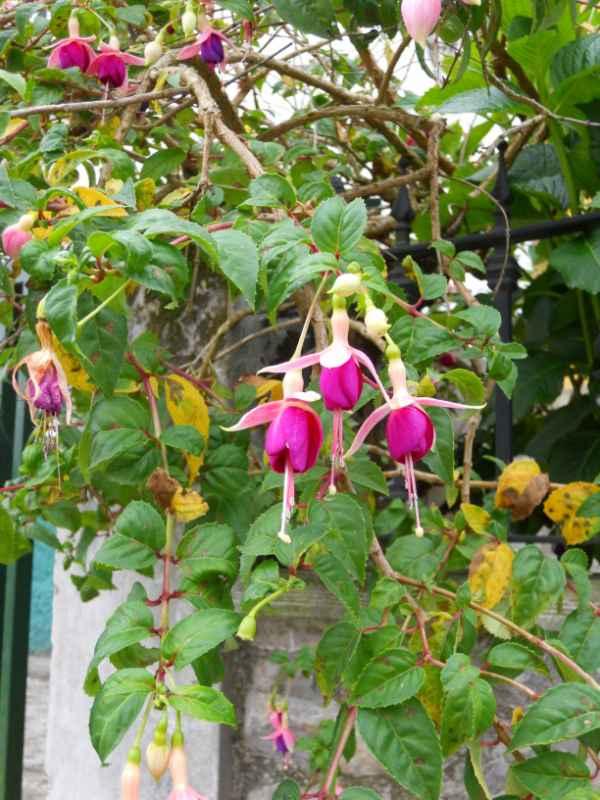 Fuchsia 'Cascade' v 1