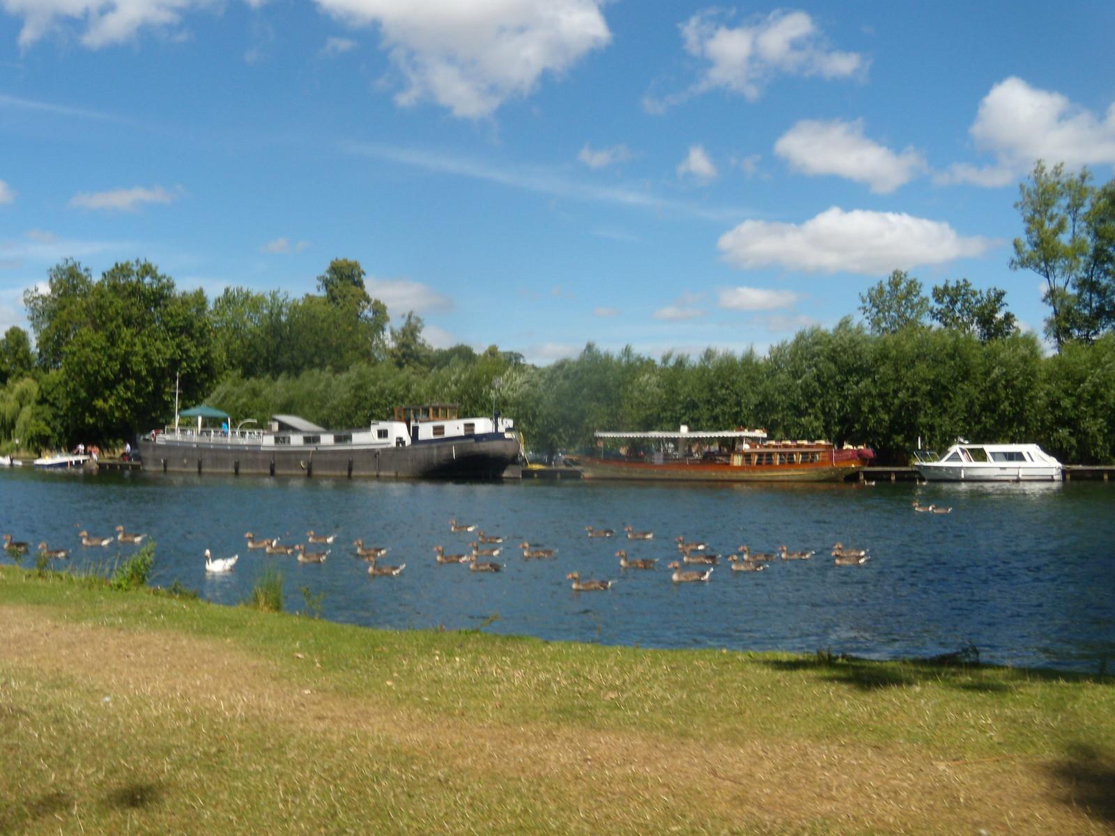 Flotilla of ducks Marlow Circular