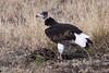 White-headed Vulture (Trigonoceps occipitalis) Witkopaasvoel, Female by Peet van Schalkwyk