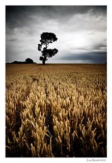 Ria's Tree in wheat fields