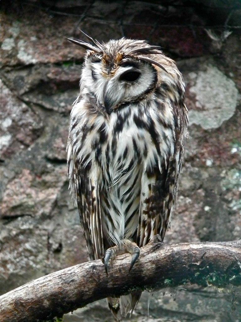 Striped Owl