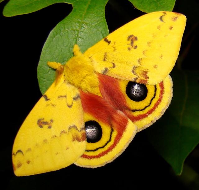 407650 – 7746 – Automeris io – Io Moth
