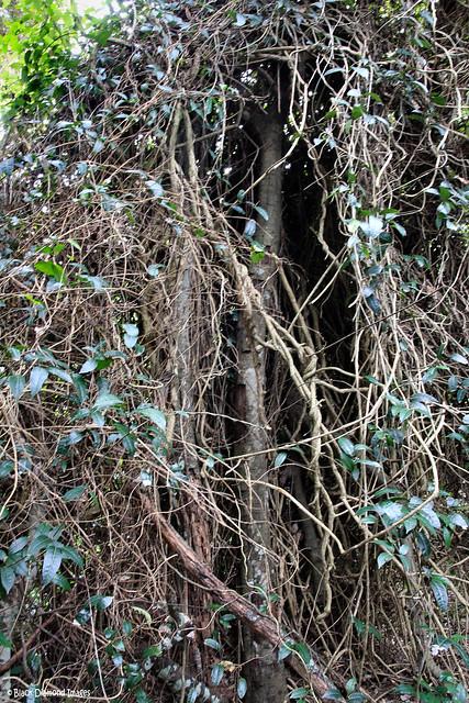 Trophis scandens subsp. scandens - Burney Vine, Purple Crow Vine, Crow Ash, Fire Vine