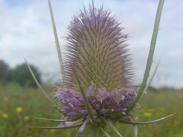 dsc00310 - Teasel Flower