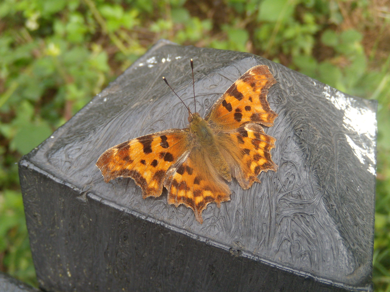 Comma butterfly Real butterfly on plastic post. Crowthorne to Sandhurst