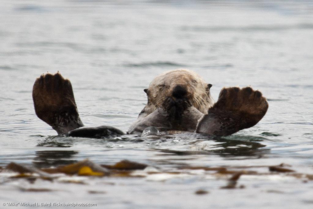 Female Sea Otter with Feet Up (Enhydra lutris) | Sea Otter