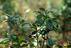 Ilex Paraguariensis
