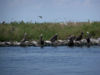 Brown pelicans nesting on island