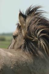 horse (konik) Millingerwaard