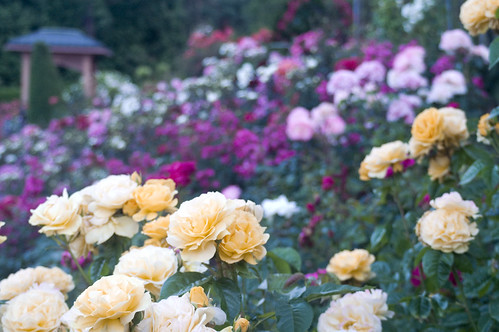 International Rose Garden | by apwong