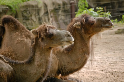 Chilling Camels | by mikemac29