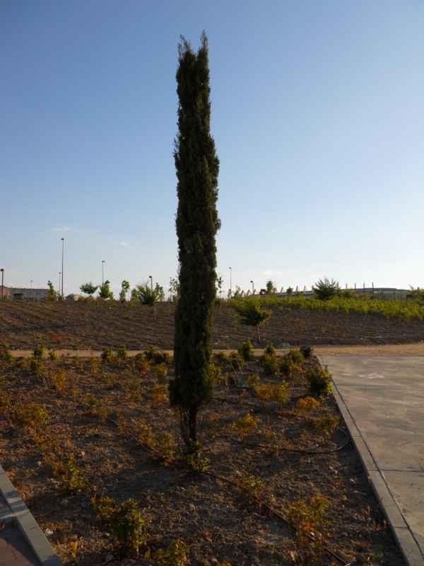 Cupressus sempervirens 'Stricta' árboles 5