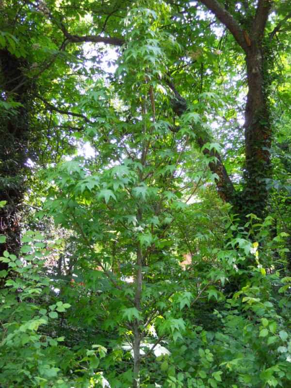 Liquidambar styraciflua árbol v 4