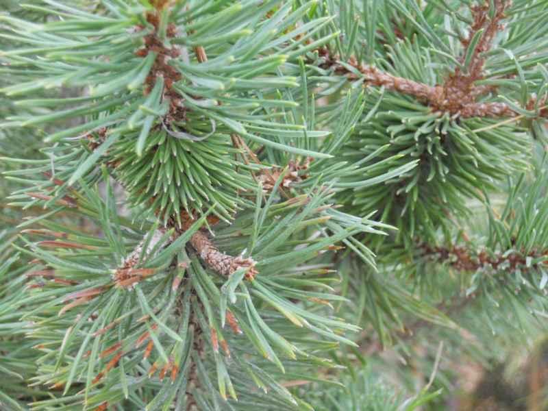 Pinus nigra 3