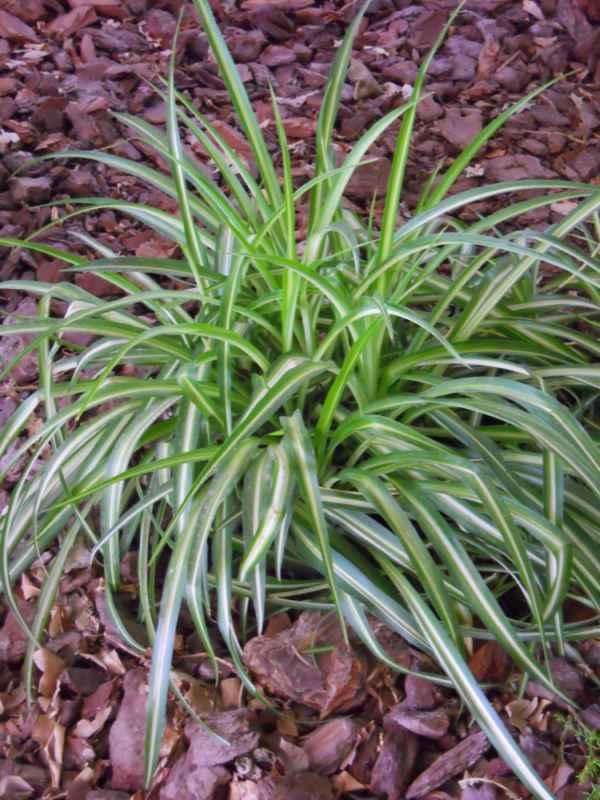 Chlorophytum comosum 'Variegatum'.. v 1