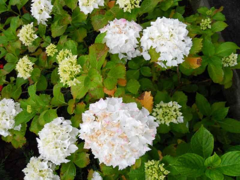 Hydrangea arborescens 'Anabelle' 2