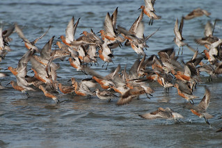Red Knot   by don r faulkner
