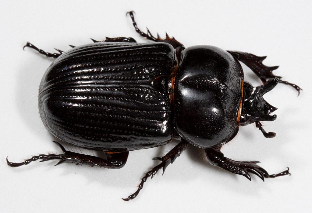 Phileurus truncatus
