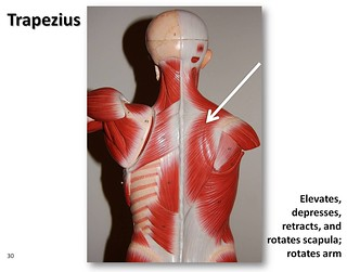 Trapezius, posterior view - Muscles of the Upper Extremity Visual Atlas, page 30 | by Rob Swatski