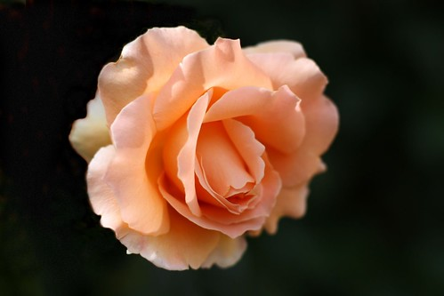 Peach Rose | by Amy @ Milk Breath and Margaritas