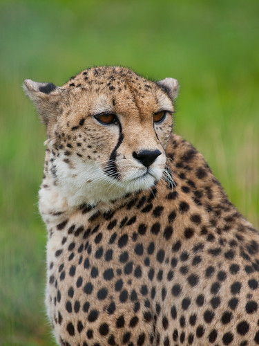 Cheetah | by wwarby