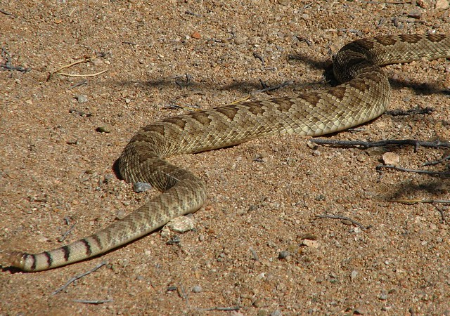 Mojave rattlesnake (Crotalus scutulatus).