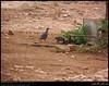 Arabian Partridges in Sahalnout, Salalah, Dhofar by Shanfari.net