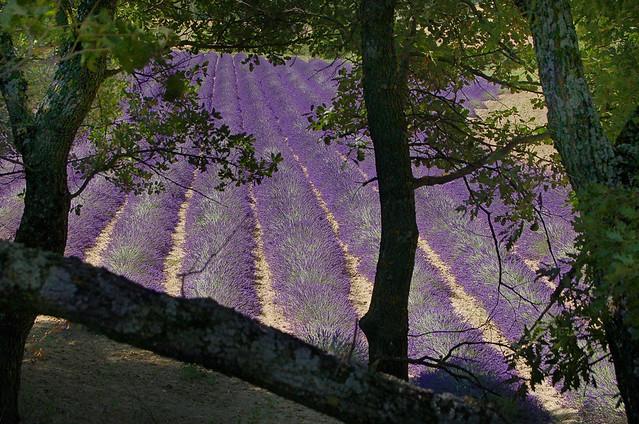 Encadrées - Valensole (Alpes-de-Haute-Provence)