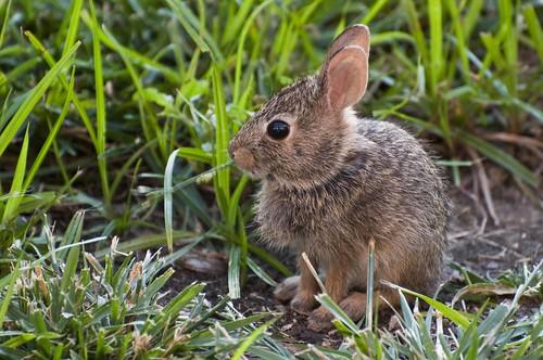 baby rabbit bunny nature nikon nebraska wildlife cottontail d90
