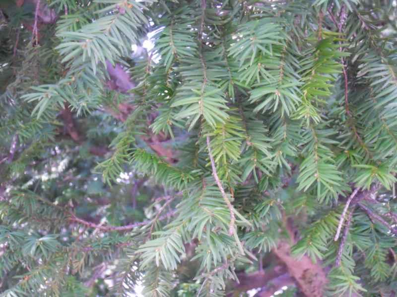 Taxus baccata hojas 2
