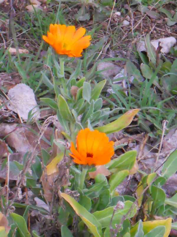 Calendula officinalis v 1