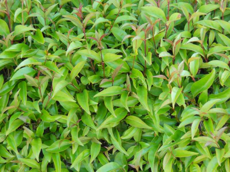 Ligustrum japonicum hojas 2