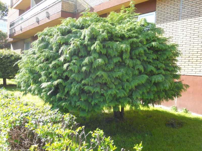 Chamaecyparis lawsoniana 'Globus' arbusto 3