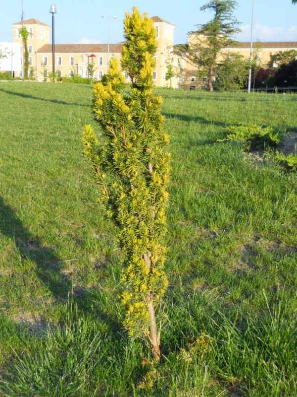 Taxus baccata 'Standishii' arbolito v 1